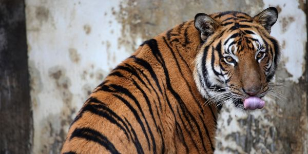 China appears to walk back on controversial decision to reopen trade in rhino and tiger bones