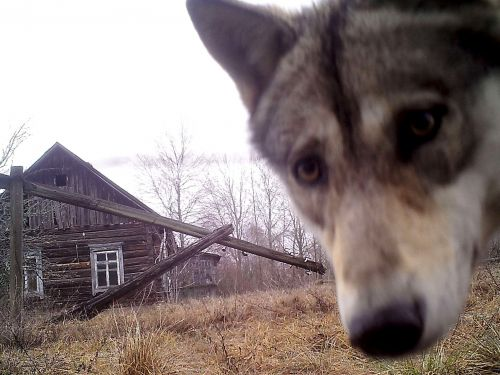 More than 30 years after the Chernobyl disaster, no people can live in the area - but the animal population is thriving
