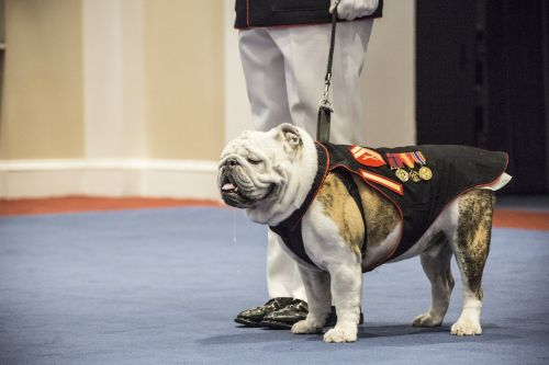 The Marine Corps just retired its 14th Chesty mascot - here's why the Corps loves English bulldogs