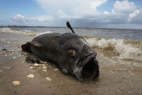 Toxic 'red tide' algae blooms are killing fish, turtles, and manatees in Florida - here's what it looks like and why it's happening