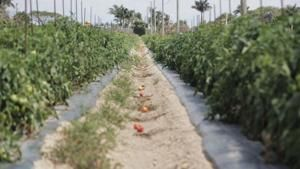 Tomato fight divides growers in Florida and the West Coast. Will it trip up NAFTA?