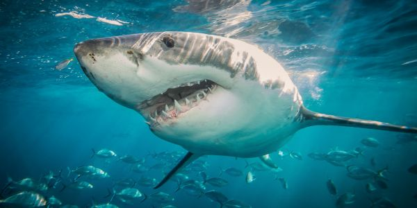 An 8-year-old boy is believed to be the third shark attack victim in North Carolina this month