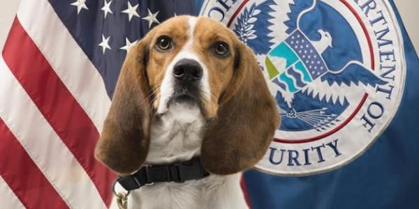 Border Patrol beagle looks very pleased with himself after sniffing out a roast pig hidden in luggage at the Atlanta airport