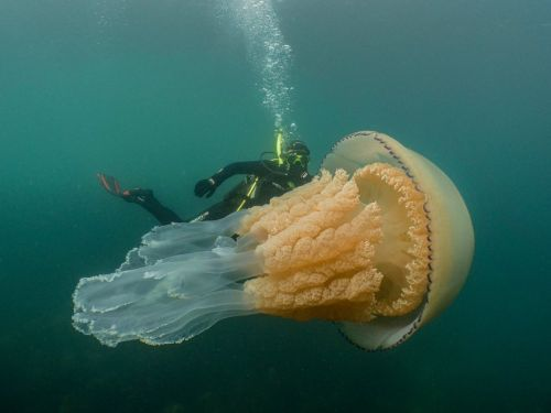A human-sized jellyfish with frilly tentacles has been caught on camera -the largest researchers had ever encountered
