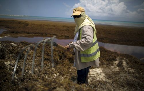 The algae epidemic suffocating the Caribbean has hit a scary milestone - the world's largest seaweed bloom now stretches from Africa to Mexico