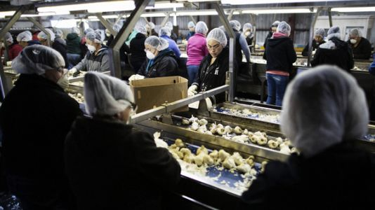 In Garlic Capital, Tariffs And Immigration Crackdown Have Mixed Impacts