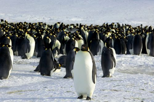11 new colonies of emperor penguins have been discovered in Antarctica with space satellite images
