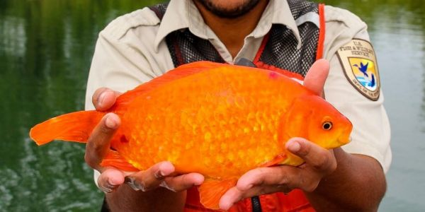 A goldfish turned up in the Niagara River after being flushed down the toilet - and it's just really, really big