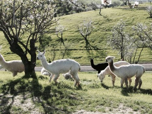 You can stay on a working alpaca ranch in California for $74 a night