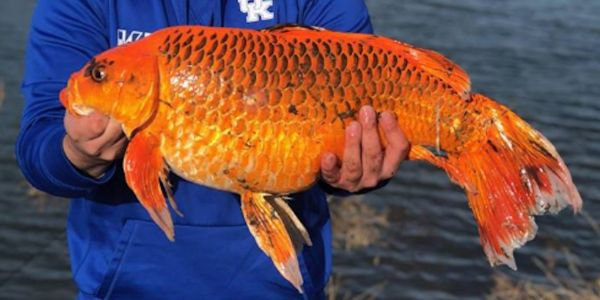 A man in Kentucky caught a 20-pound 'goldfish' in a pond using a biscuit for bait
