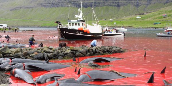Eco-campaigners took these grisly photos of whale and dolphin hunts in the Faroe Islands