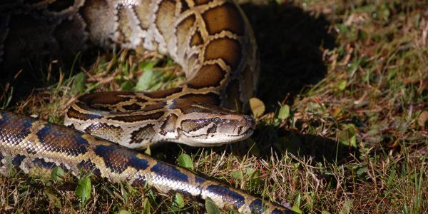 2 kinds of python are breeding in the Everglades, and it might help them become a 'super snake' with even better odds of spreading in Florida