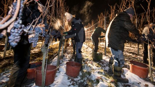 New York Vineyard Takes A Risk On Ice Wine For A Sweet Reward