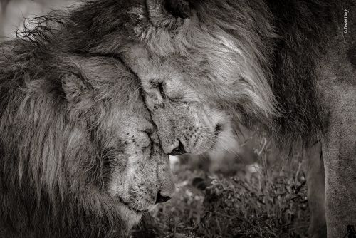 A photographer captured a tender, bromantic nose rub between two male lions, and people are stunned