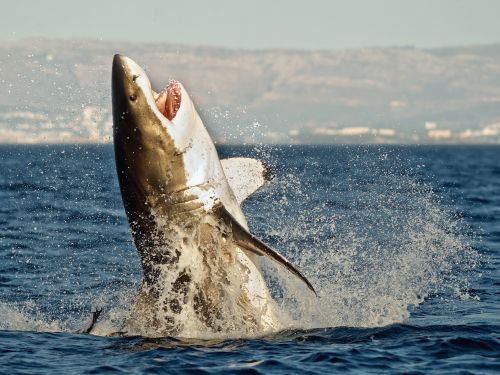 Killer whales feast on the livers of great white sharks - just one orca sighting can keep the sharks away for a year