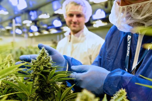 Here comes the cannabis producer Tilray