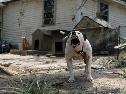 A pit bull attacked and killed a 4-year-old boy, reigniting debate over whether the breed is inherently violent