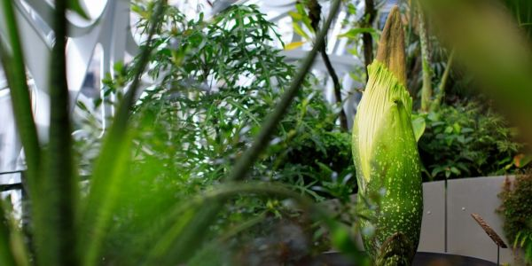 Amazon is growing a massive, foul-smelling 'corpse flower' at its indoor rainforest - and it just bloomed for the first time ever