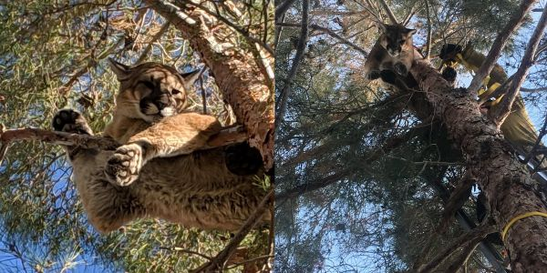 California firefighters had to remove a mountain lion from a backyard after residents spotted it perched on a 50-foot-high tree branch
