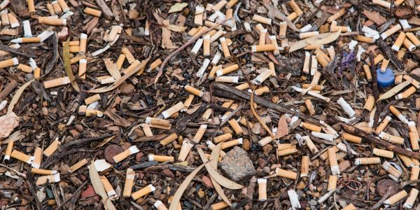 Littered cigarette butts are the most widespread man-made pollutant and they harm plant growth, according to study