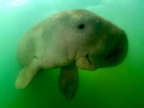 This adorable baby dugong went viral when it was rescued in Thailand. Now it's dead after ingesting plastic